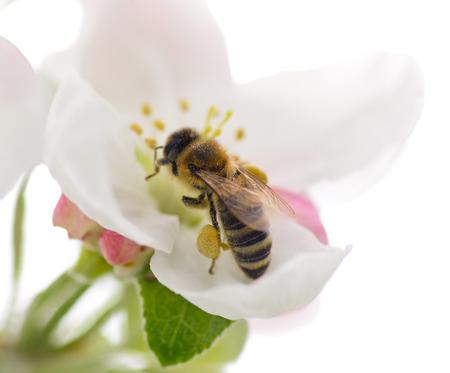 avispa: Abeja en la flor de la manzana Foto de archivo
