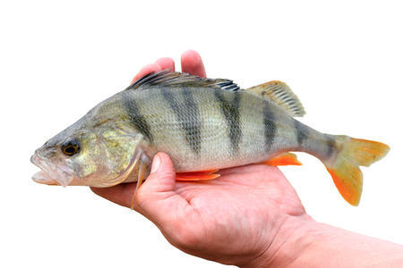 white perch: Perch in hand on white background