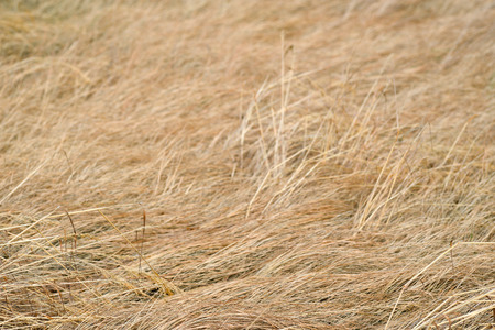 faded: Background of dry faded grass