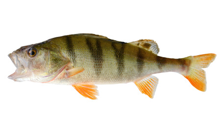 white perch: Perch isolated on white