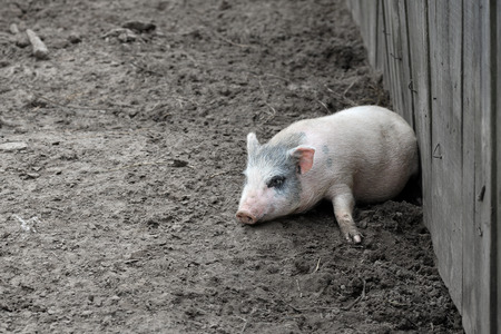 pigling: Little funny piglet having a rest on a farm Stock Photo
