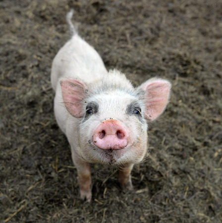 Portrait of little funny piglet on a farm Stock Photo