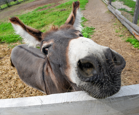 ears donkey: Cute donkey on the farm near Kiev, Ukraine