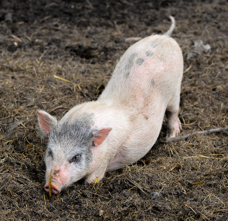 pigling: Little funny piglet on a farm Stock Photo
