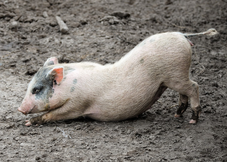 pigling: Funny stretching little piglet on the farm near Kiev, Ukraine
