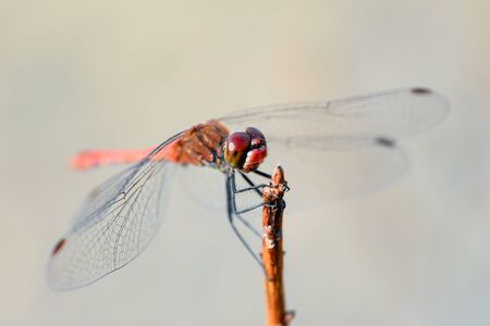 dragonfly wing: Dragonfly and nature background Stock Photo