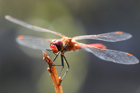 dragonfly wings: Dragonfly and natural background