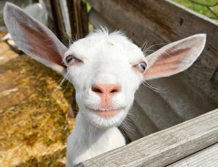 Lustige Ziege auf Bauernhof, Ukraine Standard-Bild - 44371095
