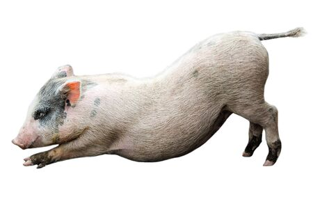 Funny stretching piglet isolated on white Standard-Bild