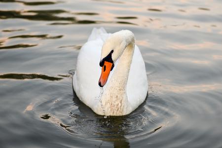 swimming swan: Beautiful white swan swimming on lake, Ukraine