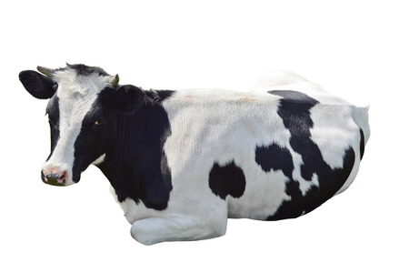 Black and white cow lying isolated on a white background