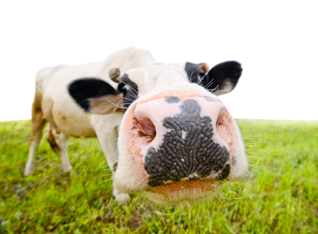snout: Curious amusing cow with funny big snout and natural background