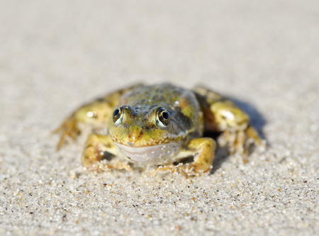 Toad on a sandy shore. Dreamy frog sitting on the sand  Frog sitting on the sand