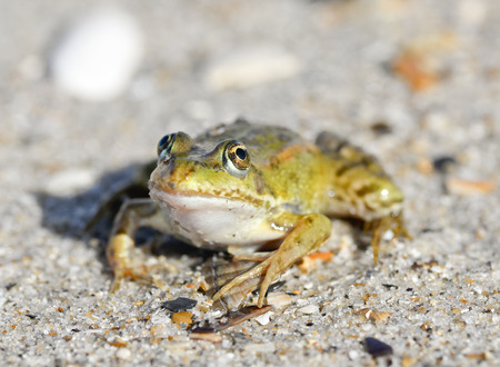 Toad on a sandy shore. Dreamy frog sitting on the sand Stock Photo