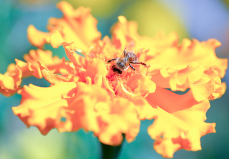 pollinators: Bee collecting honey and Marigold in the fall. Bee and Marigold flower isolated on white background