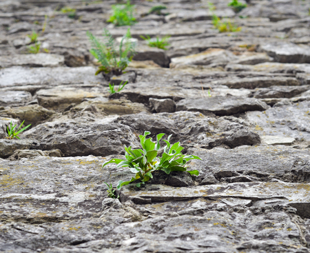 cobblestone road: Close up of old cobblestone street and bright green wild grass. The concept of drought. Cracked dry earth and green grass Ancient cobblestone road. Stone texture for banners, flyers and other design.