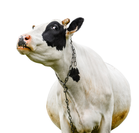 cute cow: Funny cute cow isolated on white. Talking black and white cow. Funny curious cow. Farm animals. Pet cow on white.