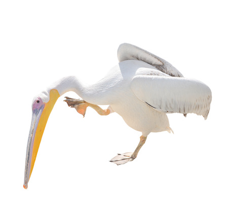 seabird: Big beautiful white pelican isolated on white. Funny cute zoo bird pelican. Pelican - large water bird that eat fish