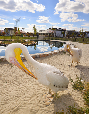 White Pelicans also known as the Eastern White Pelican, Rosy Pelican or White Pelican is a bird in the pelican family Two funny white Pelicans near pool in zoo. Two pelicans funny posing for photos Stock Photo