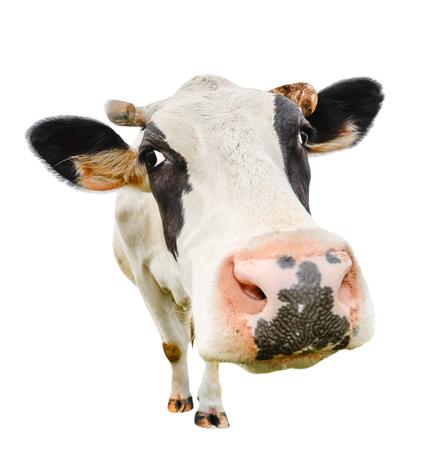Vaca linda divertida aislada en blanco. Hablando blanco y negro de vaca cerca. Vaca curiosa divertida. Animales de granja. Vaca de mascota en blanco. Vaca estrecha mirando a la cámara Foto de archivo - 70000483