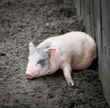 pigling: Portrait of a little funny piglet on a farm. Little pink piglet and dirty ground. Farm animals. Gray dwarf Vietnamese pig Stock Photo