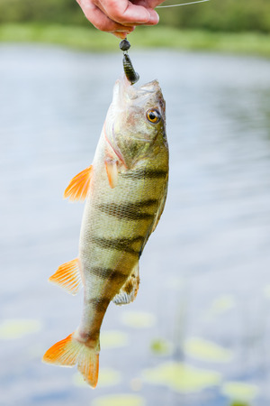 perca: Perch fish catch on the hook. Bass river fish and natural background. Fishing activity. Catch of fish