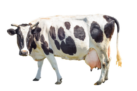 Black and white cow with a large udder isolated on white background. Spotted funny cow full length isolated on white. Farm animals