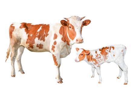 2 つの美しい赤と白は、白い背景で隔離の牛を発見しました。面白い若い牛および子牛全身白で隔離。農場の動物。