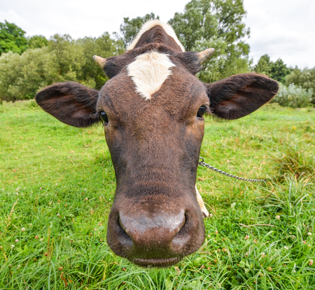 The portrait of a cow on the background of a field. Beautiful funny cow on cow farm. Young black and white calf staring at the camera. Curious amusing cow with funny big snout and natural field background
