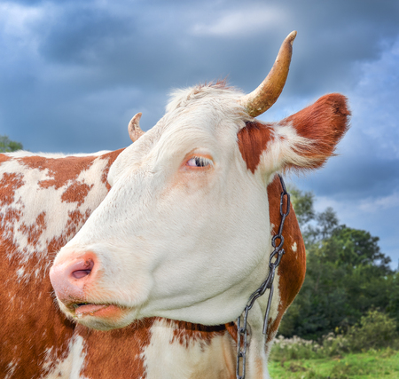 Funny cow with big muzzle staring straight into camera and eating grass. Farm animals. Funny cute red and white spotted cow on the field with bright green grass. Stock Photo
