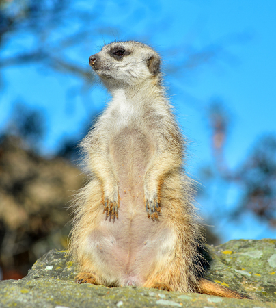 Very funny Meerkat Manor sits in a clearing at the zoo and bright blue sky and trees as blurry bokeh. The meerkat or suricate is a small carnivoran to the mongoose family. Meerkat close up.
