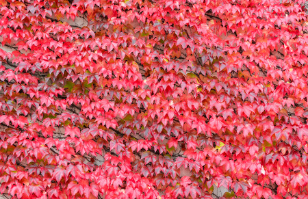 Beautiful bright red ivy background. Hedera or ivies vibrant red autumn leaves over stone wall for background or mock up. Red ivy close up. Banco de Imagens