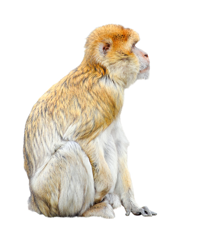 Monkey isolated on white background. Funny Barbary macaque close up. Funny Barbary ape or maggot looking at free empty space.