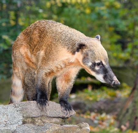 Coati, genera Nasua and Nasuella, also known as the coatimundi is a member of the raccoon family native America. oati at natural background at zoo.