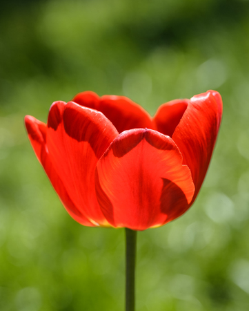Tulip close up and blurred green background. Bright red tulip and natural blurry background. Garden spring flowers. Standard-Bild - 101319976
