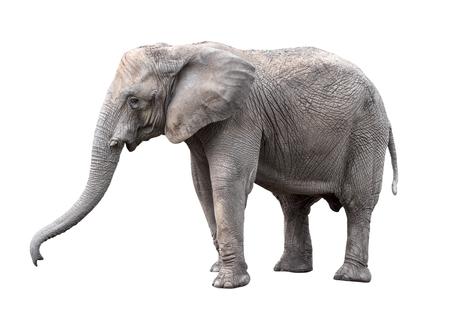 Elephant close up. Big gray walking elephant isolated on white background. Standing elephant full length close up. Female Asian elephant. Standard-Bild - 104157199