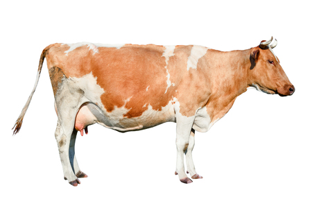 Cow full length. Beautiful young cow isolated on white. Funny red and white spotted cow portrait close up. Farm animals. Standard-Bild - 104157200