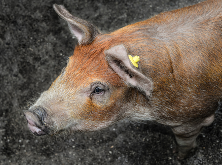 Pig portrait close up. Funny red fluffy pig looking into camera, Farm animals Standard-Bild - 109337798