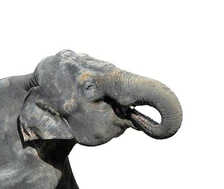 Elephant isolated on white. Portrait of a big gray elephant close up. Zoo animals. Standard-Bild - 109391159
