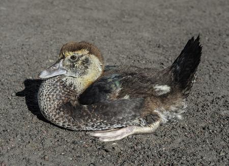 Funny duckling sitting and basking in the sun on a farm. Farm animals. Little bird. Standard-Bild - 109578415
