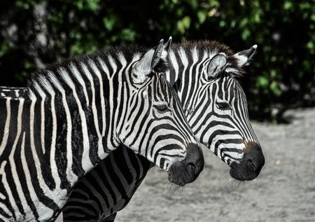Two young zebras in the zoo. Safari animals. Zebras portrait close up. Standard-Bild - 110698779