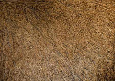 Brown hair goat skin - real genuine natural fur, free space for text. Goat fur close up. Texture of a light brown animal fur coat. Brown short hide background. Standard-Bild - 110539837