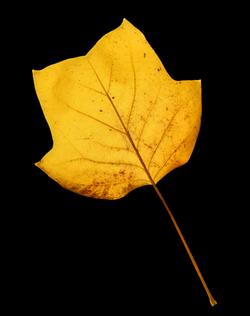 Beautiful bright yellow magnolia tree leaf isolated on black background. Magnolia tree leaf close up. Fall background Standard-Bild - 110801132