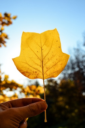 Beautiful bright yellow magnolia tree leaf on natural background. Magnolia tree leaf close up. Fall background with free space. Template Standard-Bild - 110801134