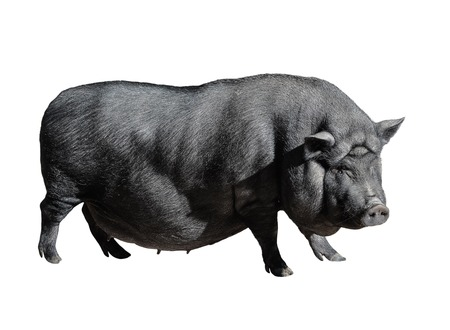 Funny spotted black vietnamese pig isolated on white. Pot-bellied young female pig full length isolated on white background. Farm animals. Standard-Bild - 110801149