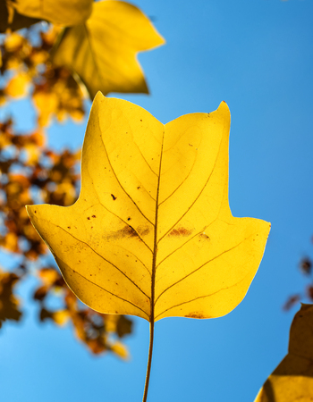 Beautiful bright yellow magnolia tree leaf on natural background. Magnolia tree leaf close up. Fall background with free space. Template Standard-Bild - 110801151