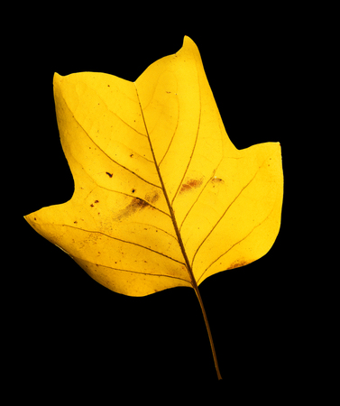 Beautiful bright yellow magnolia tree leaf isolated on black background. Magnolia tree leaf close up. Fall background Standard-Bild - 110801152