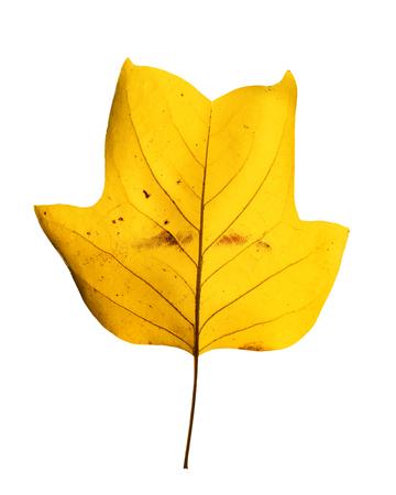 Fall background. Beautiful bright yellow magnolia tree leaf isolated on white background. Magnolia tree leaf close up. Standard-Bild - 110801170