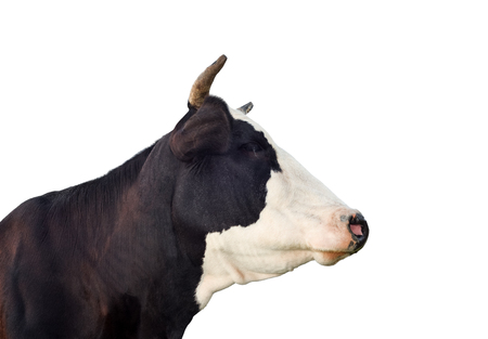 Cow portrait close up. Funny black and white cow isolated on white. Farm animals. Stock Photo - 117352260
