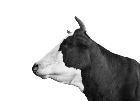Cow portrait close up. Funny black and white cow isolated on white. Farm animals. Stock Photo